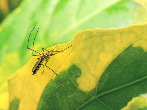 Credit: Getty Images/Poravute | Close up of Aedes Aegypti Mosquito resting on the leaf in garden with copy space. Aedes is a genus of mosquitoes transmit serious diseases, including dengue fever, yellow fever, the Zika virus and chikungunya.