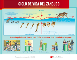 Life cycle poster of the mosquito